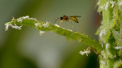 Insekten - Die besseren Schädlingsbekämpfer?