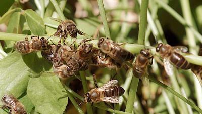 Der Retter der Bienen