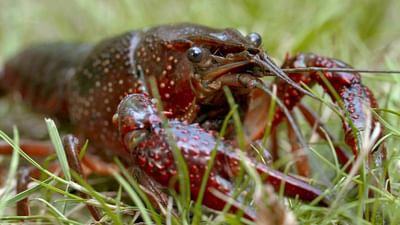 Re: Invasion der Sumpfkrebse