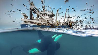 Norwegen - Schwertwalen auf der Spur