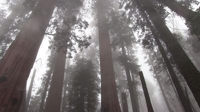 Mammutbäume müssen umziehen