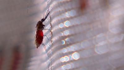 Malariamücken: gefährliche Blutsauger