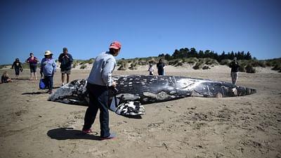 Kalifornien: Grauwale in Gefahr