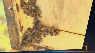 Bienen in Gefahr, na und? - Vox Pop