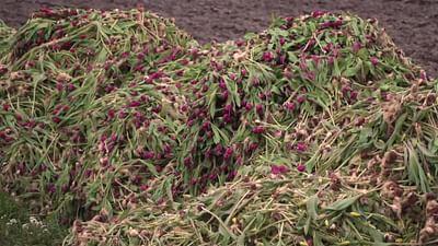 Niederlande: Tulpen für die Tonne