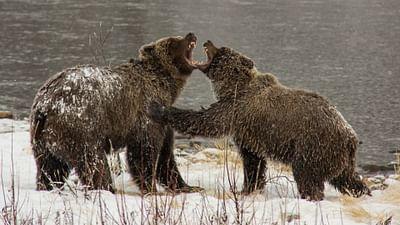 Yukons Grizzlys