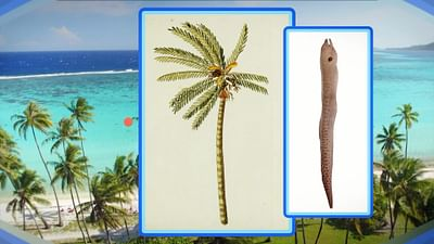 Die Legende der Kokospalme