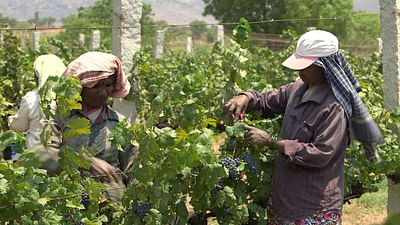 India: Grapes of Modernity