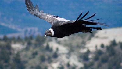 GEO Reportage - Sur les ailes du condor des Andes