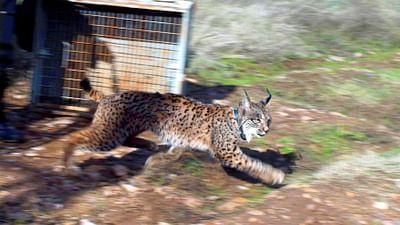 GEO Reportage - Sur la trace du lynx ibérique
