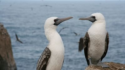 GEO Reportage - Guano, sale besogne au paradis des oiseaux