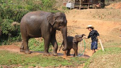 GEO Reportage - Thaïlande, le dernier voyage d'un éléphant