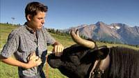 Suisse, des vaches bien remontées en streaming