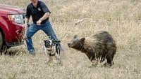 Des chiens au secours des ours en streaming
