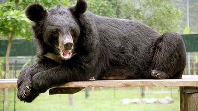 GEO Reportage - Vietnam : au secours des ours noirs d'Asie