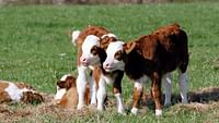 Taureaux et vaches, naturellement en streaming