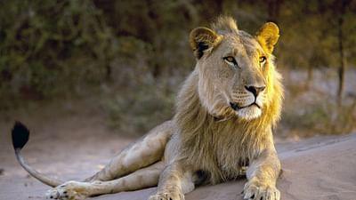 Lions de Namibie, un nouveau départ