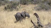 Naledi, l'éléphanteau orphelin en streaming