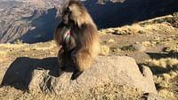 Geo reportage - Éthiopie : la guerre des singes en streaming