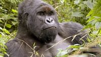 Geo reportage - virunga, les gorilles en péril en streaming