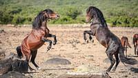 La harde sauvage - libres chevaux de sardaigne en streaming