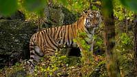 Le grand retour du tigre de sibérie du 12/10