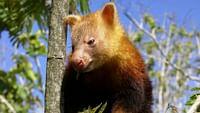 Papouasie-nouvelle-guinée - jim & jean au secours du kangourou arboricole du 22/04