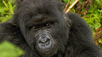 Des gorilles dans la tourmente