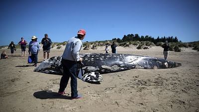 Californie : baleines grises en danger