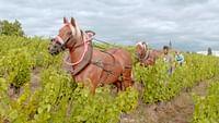 Geo reportage - le renouveau du vignoble français en streaming