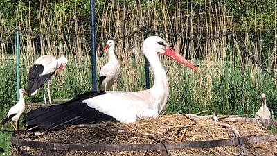 GEO Reportage - L'Alsace, terre de cigognes