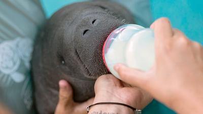 GEO Reportage - Porto Rico, un hôpital pour les lamantins