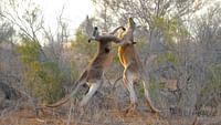Au coeur de l'australie sauvage en streaming