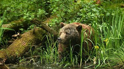 Des ours enfin bien chez eux