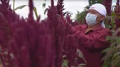 Une céréale sauve une région mexicaine de la crise