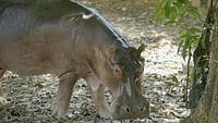 Geo reportage - les hippopotames de pablo escobar en streaming
