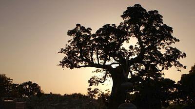 Baobab, le vieil arbre et les hommes