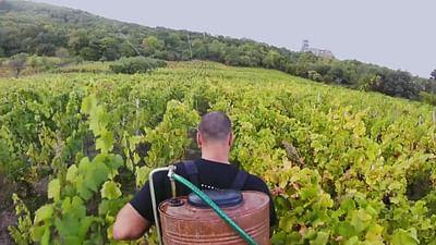 Wino Volvica